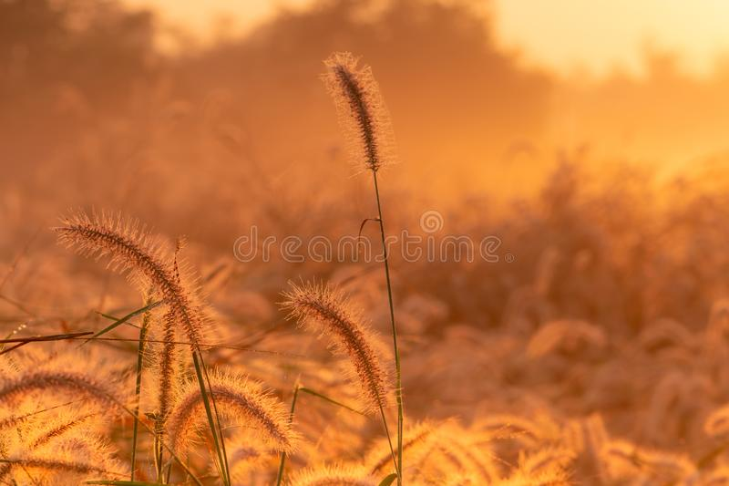 Grass flower in the morning at sunrise with beautiful golden sunshine. Flower field in rural. Orange meadow background. Wild. Meadow grass flowers with morning stock photos