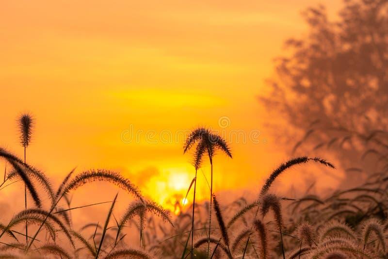 Grass flower in the morning at sunrise with golden sunshine. Flower field in rural. Orange meadow background. Wild meadow grass. Flowers with morning sunlight stock photo