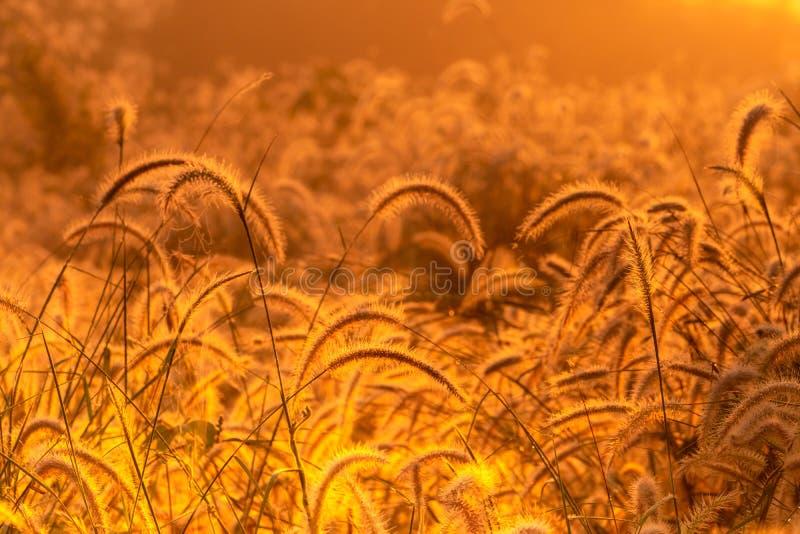 Grass flower in the morning at sunrise with golden sunshine. Flower field in rural. Orange meadow background. Wild meadow grass. Flowers with morning sunlight royalty free stock photo