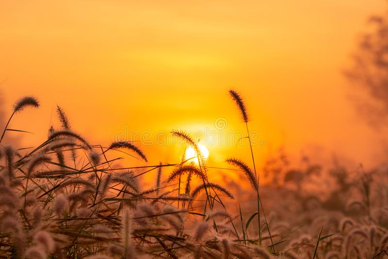 Grass flower in the morning at sunrise with golden sunshine. Flower field in rural. Orange meadow background. Wild meadow grass. Flowers with morning sunlight stock photos