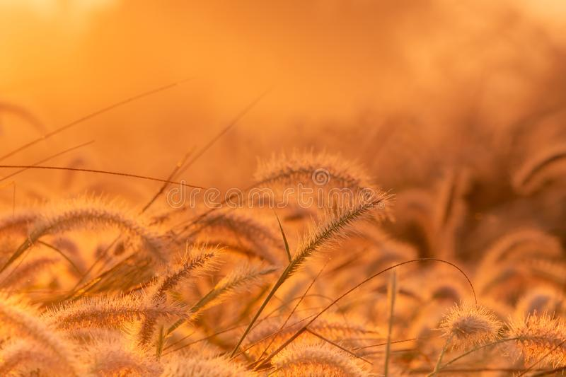 Grass flower in the morning at sunrise with golden sunshine. Flower field in rural. Orange meadow background. Wild meadow grass. Flowers with morning sunlight royalty free stock photos