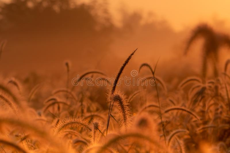 Grass flower in the morning at sunrise with golden sunshine. Flower field in rural. Orange meadow background. Wild meadow grass. Flowers with morning sunlight royalty free stock image
