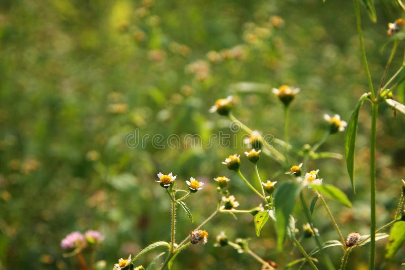 Grass flower photo background green day light. The Natural green field with focused on yellow & white small flowers, best for photography background, for royalty free stock photo