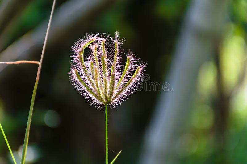 Grass flower plant with blurred background. Grass flower of plant ,concept background nature in the forest royalty free stock images