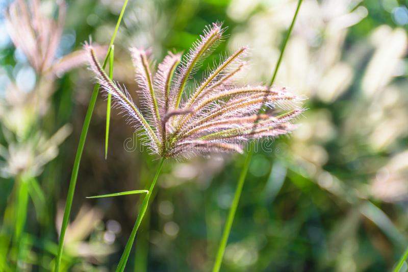 Grass flower plant blurred background. Grass flower of plant ,concept background nature in the forest stock photo