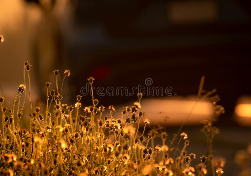 Grass flower beside the road with golden sunlight. Background for hope and encouragement. Grass flower and blurred car. Start day stock images