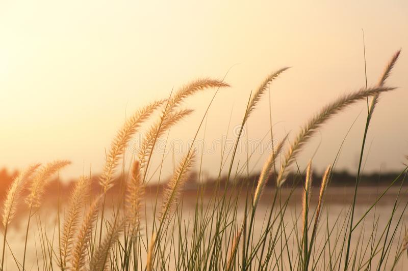 Grass flowers and a background in the evening sky. The evening light hits the grass royalty free stock photography