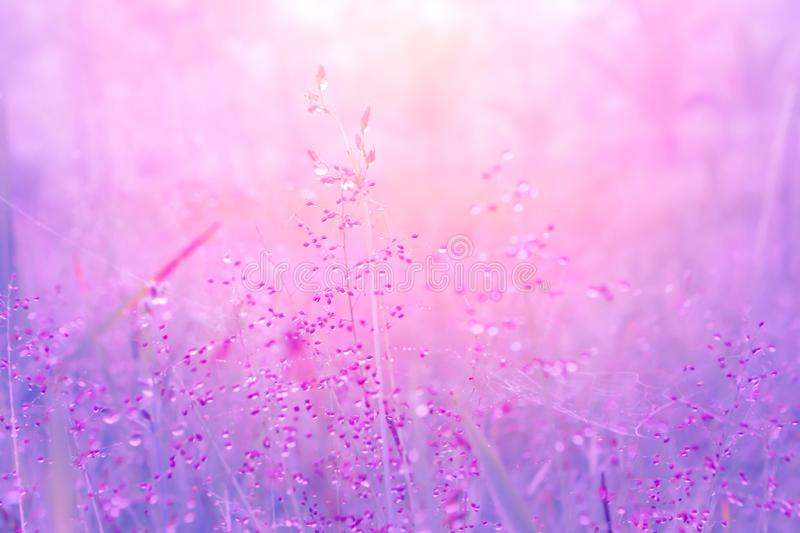 Grass flowers at morning sunrise with light bokeh royalty free stock photography
