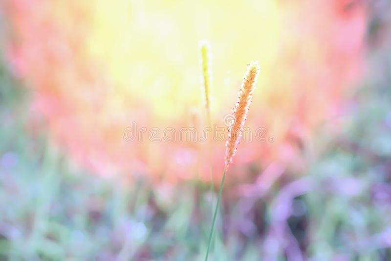 Grass flowers at morning sunrise with light bokeh royalty free stock images