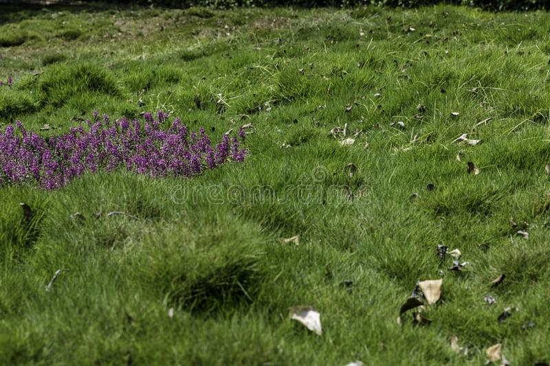 Grass with flowers patch. Emerald green lush grass with purple flowers patch on side royalty free stock image