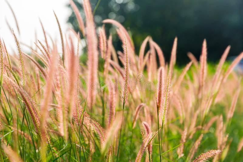 Grass flowers with rim light effect at sunset. Flower grass and sunrise background in the morning. stock photos
