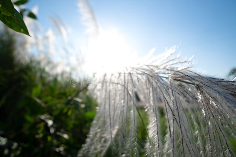 Grass flowers with sunrise and blue sky stock images