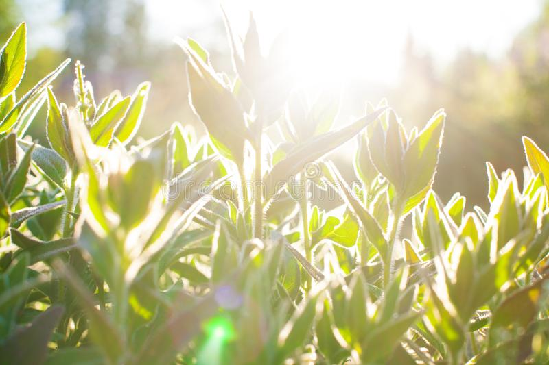 Grass flowers at sunrise, plant in morning with sunlight stock image