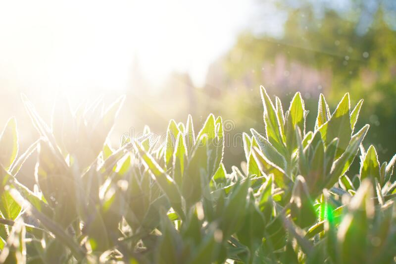 Grass flowers at sunrise, plant in morning with sunlight royalty free stock images