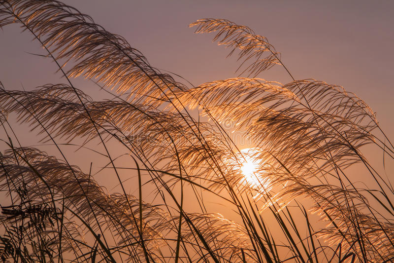Grass flowers during sunset with low light against the sun stock image