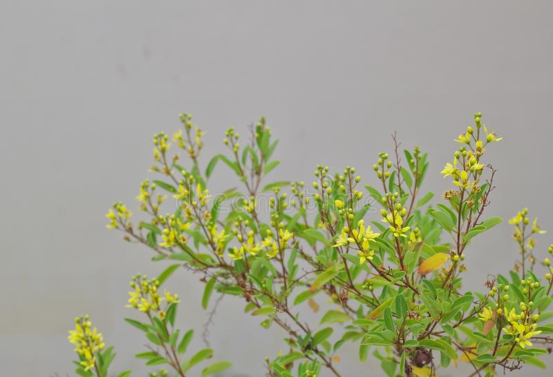 Grass flowers, yellow flowers, small flowering shrubs, white background walls royalty free stock photo