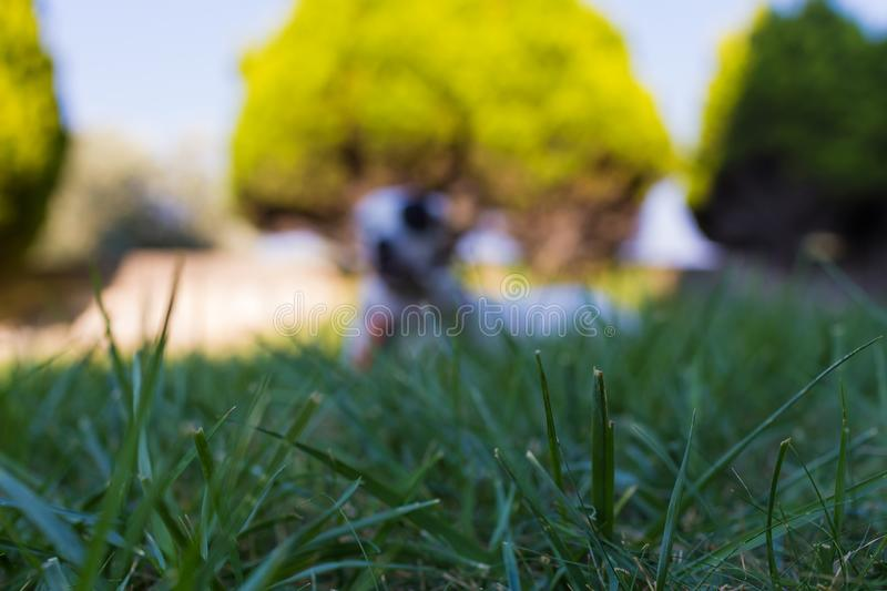 Grass in the foreground and defocused domestic dog lying on the lawn. Grass in the foreground and defocused domestic black and white dog lying on the lawn stock photography
