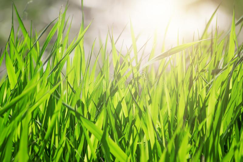 Grass. Fresh green spring grass with dew drops closeup. Sun. Soft Focus. Abstract Nature Background. royalty free stock photos