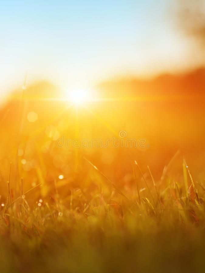Grass. Fresh Green Spring Grass With Dew Drops Closeup. Sun. Soft Focus. Abstract Nature Background. Rice Plant At Sunset.  stock image
