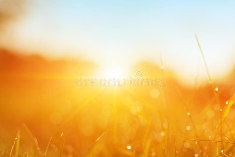 Grass. Fresh Green Spring Grass With Dew Drops Closeup. Sun. Soft Focus. Abstract Nature Background. Rice Plant At Sunset stock images