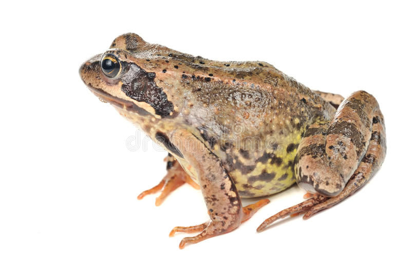 Grass Frog - Side View Stock Image