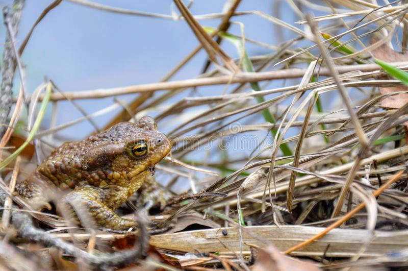 green river frog sitting on a dry grass royalty free stock photos