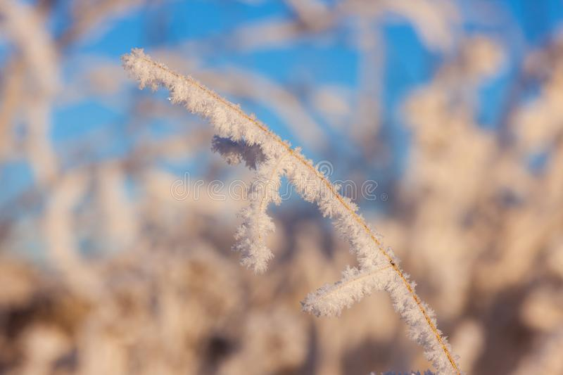Grass in the frost. In the foreground royalty free stock photo