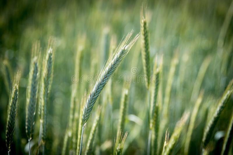 Grass, Grass Family, Rye, Crop Free Public Domain Cc0 Image