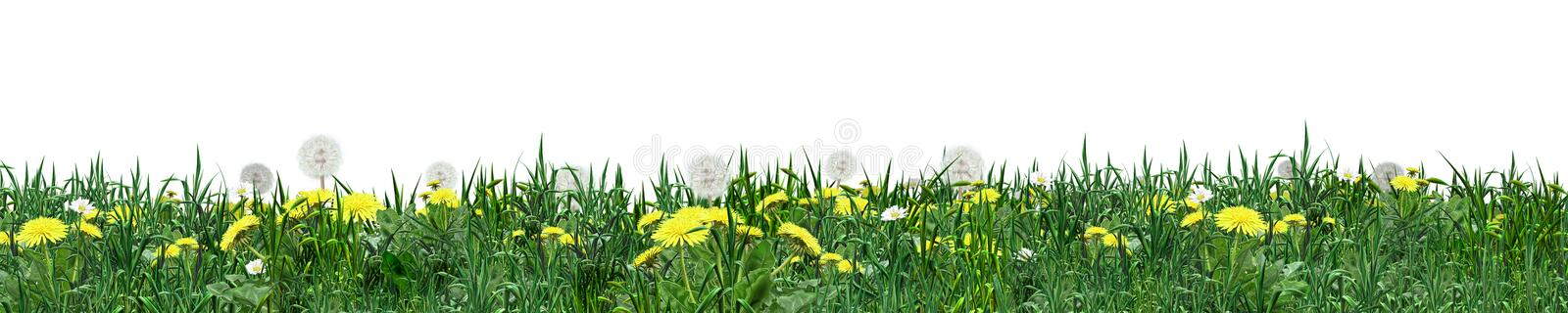 Grass green banner. Grass green, banner. Green grass on a white background. You can use this material to create images for postcard or background or wallpaper or royalty free illustration