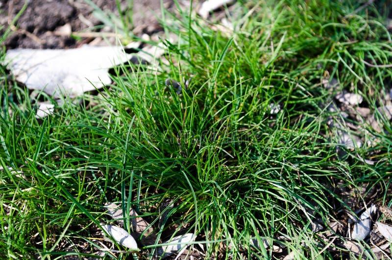 Grass. Green grass. Bush grass. Green City. Freshness of spring grass. Emerald green. Young, fresh grass. The first blade of grass. Green grass in the city royalty free stock image