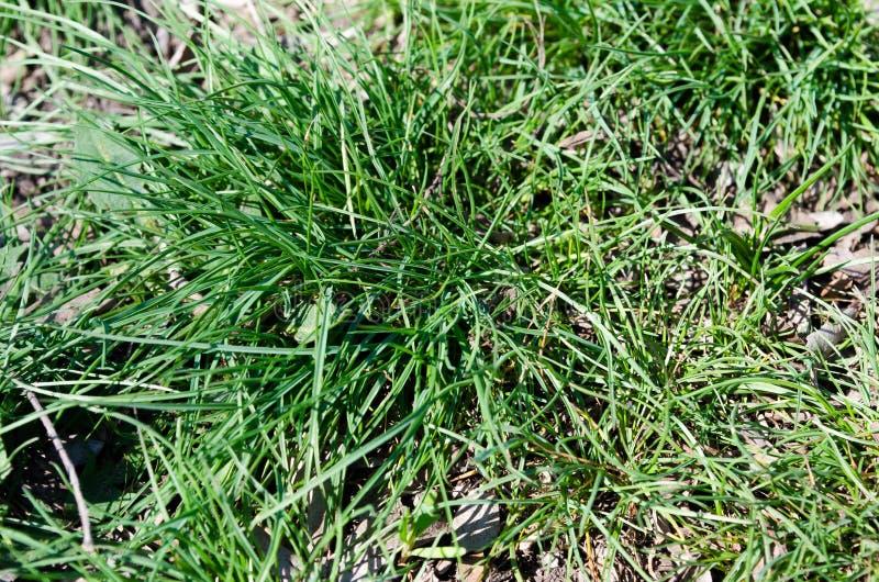 Grass. Green grass. Bush grass. Green City. Freshness of spring grass. Emerald green. Young, fresh grass. The first blade of grass. Green grass in the city royalty free stock photo