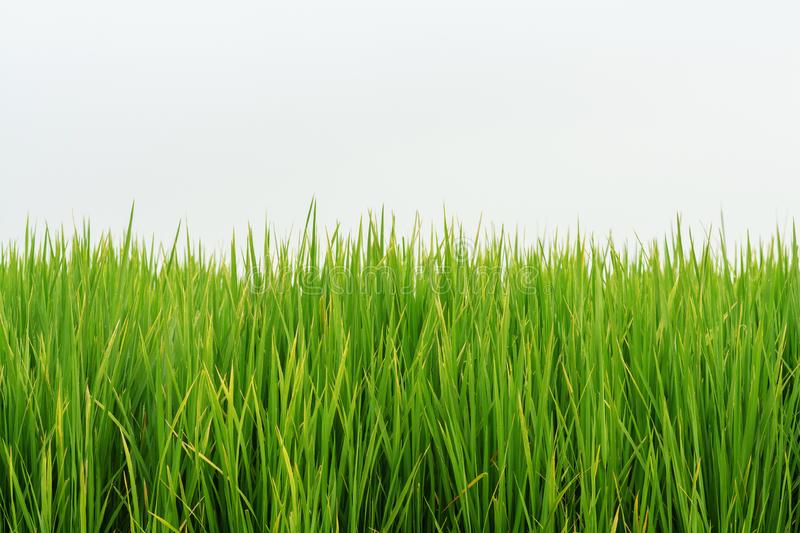 Grass green nature on white background royalty free stock photography