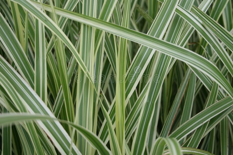 Grass with green and white stripes. Large grass / grasses with green and white stripes stock images