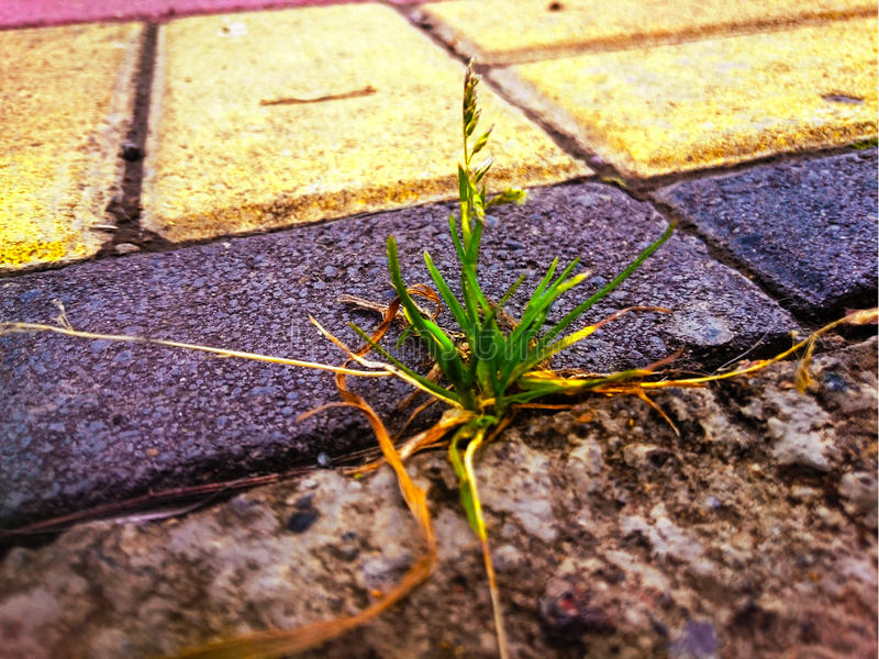 Grass growing on the cobblestone. Nature finds its way and grows despite the difficulties. Pavers are not a wall stock images