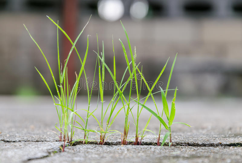 Grass growing through crack in concrete stock photography