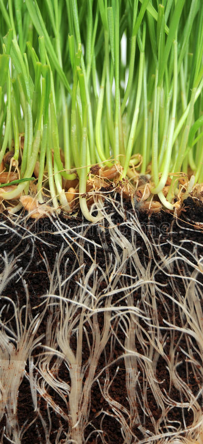 Download Grass growing from Roots stock photo. Image of eating - 16932206