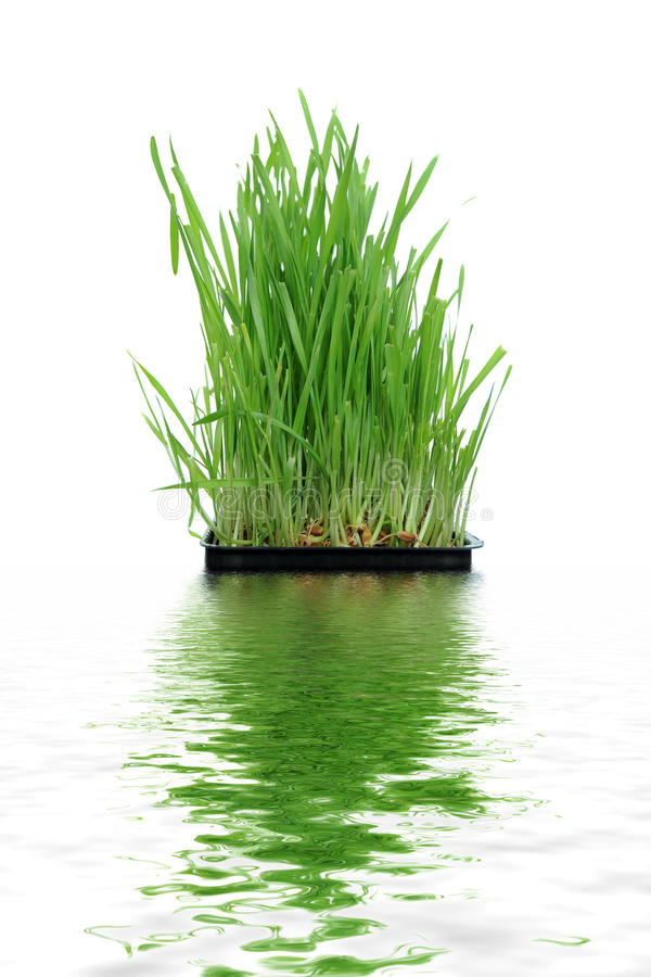 Download Grass growing from Roots stock image. Image of ground - 16983593
