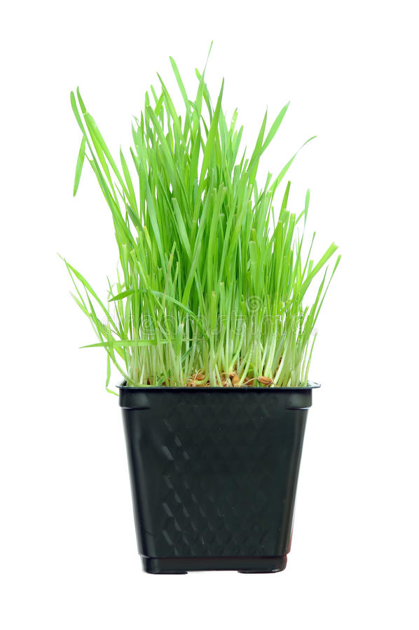 Grass Growing From Roots Royalty Free Stock Photography