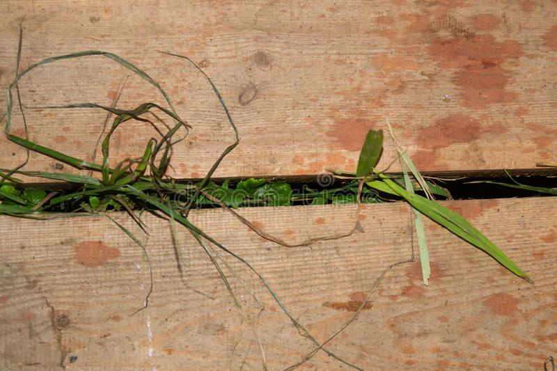 Grass growing through wooden plank floor royalty free stock photo