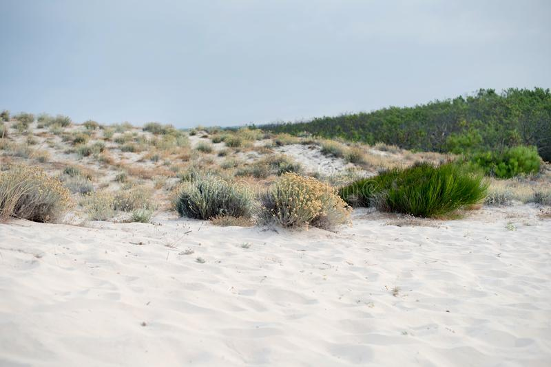 The grass grows on sand dunes near the sea. France. Landes. stock photos