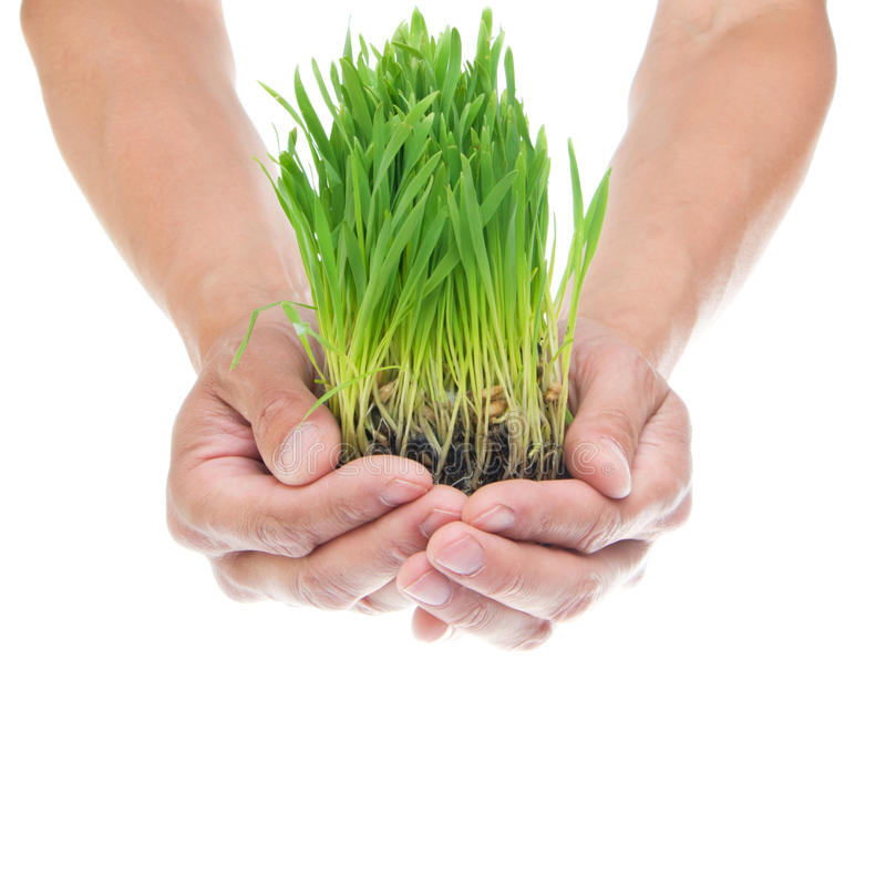 Grass in hands. On the white stock photo