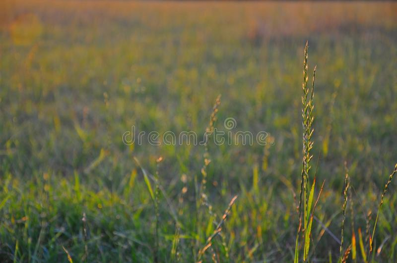 Grass highlighted by evening sun stock photography