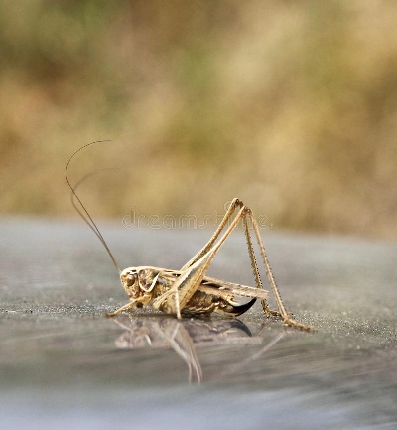 Grass hopper on a car bonnet with reflection in paint. Dust on bonnet in background. Blurred greenery backdrop stock photo