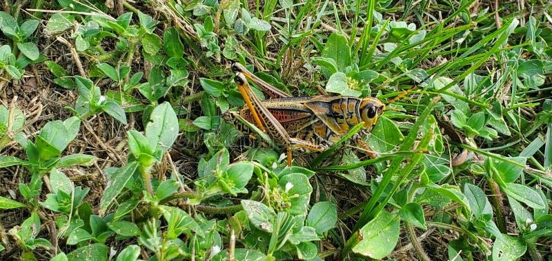 Grass hopper green royalty free stock photos