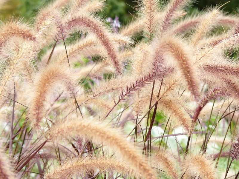 Grass horsetails royalty free stock photo