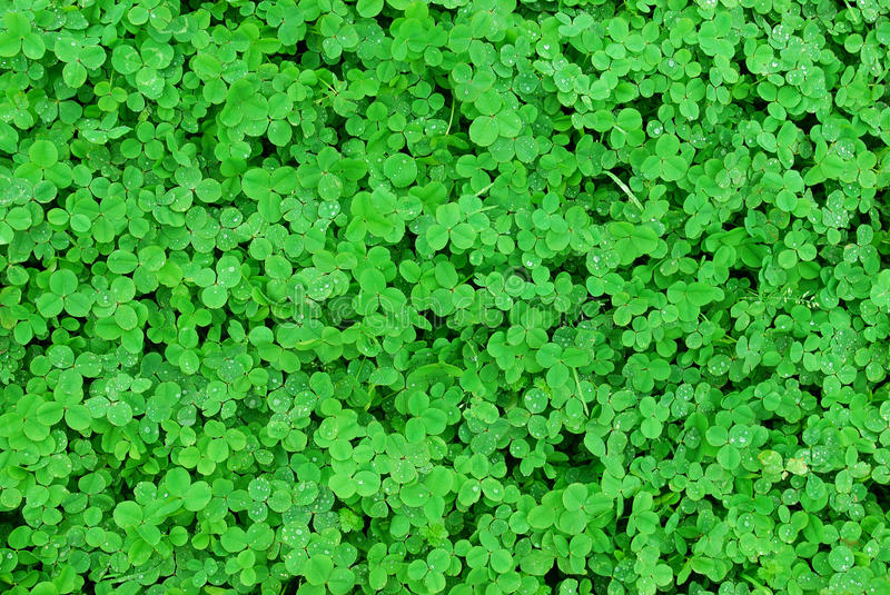 Download Grass Lawn Of Clovers Stock Photo - Image: 10728960
