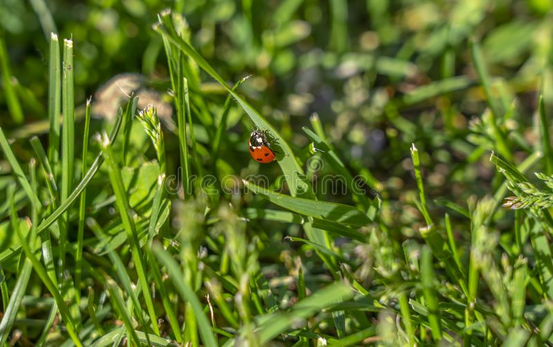 On the grass on the lawn crawling ladybug.  stock photos