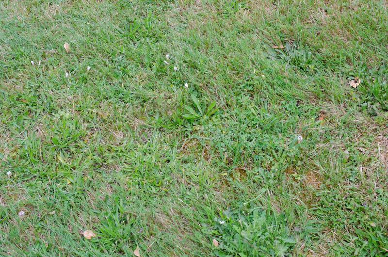 Grass lawn with lots of weeds stock photo