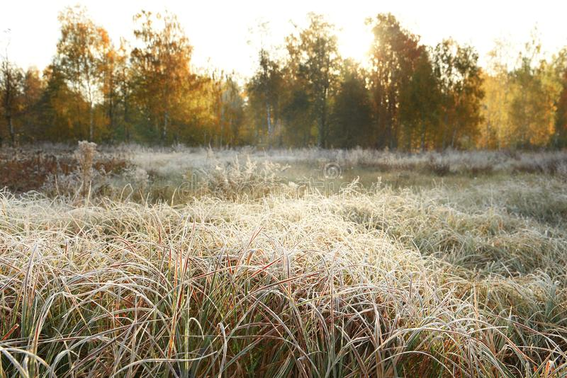 Grass in a meadow in white hoarfrost and dew and autumn yellow birch forest in the sunlight. Beautiful early morning in autumn. royalty free stock images