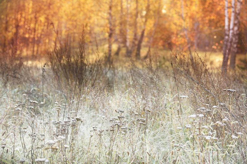 Grass in a meadow in white hoarfrost and dew and autumn yellow birch forest in the sunlight. Beautiful early morning in autumn. royalty free stock image